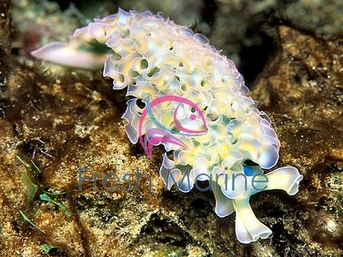 Assorted Lettuce Nudibranch - Bryopsis - Eating Nudibranch - Tridachia crispata - Lettuce Sea Slug