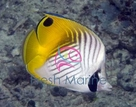 Auriga Butterfly Fish - Chaetodon auriga - Threadfin Butterflyfish