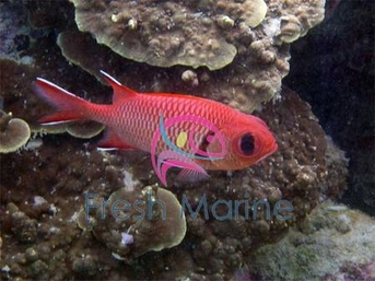 Big Eye Squirrelfish - Myripristis species - Blotcheye Soldierfish - Red Squirrel Fish - Bigeye