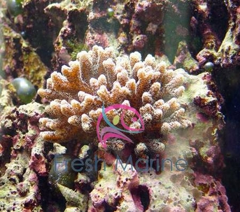 Bird's Nest Coral - Seriatopora hystrix - Brush - Needle - Pink Nest