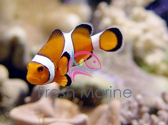 freshmarine com black and white false ocellaris clown amphiprion