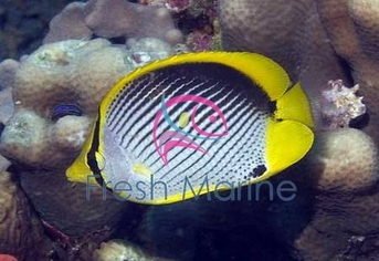Black Back Butterfly Fish - Chaetodon melannotus - Melannotus Black-Backed Butterflyfish