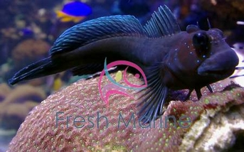 Black Combtooth Blenny - Ecsenius namiyei - Namive's Blenny - Kupang Black Blenny - Yellowtail Black Blenny