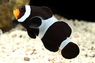 Black & White Ocellaris Clown Fish - Amphiprion ocellaris - Black & White Clown Anemonefish - Black & White Percula Clownfish