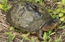 Black Wood Turtle - Rhinoclemmys funerea - Black Turtle