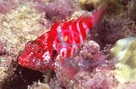 Blood Red Hawkfish - Cirrhitops fasciatus - Blood Hawk Fish