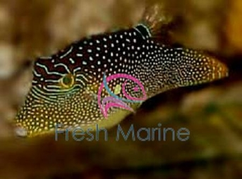 Blue Dot Puffer - Canthigaster epilamprus - Lantern Goby