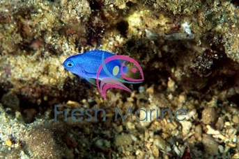 Blue & Gold Damsel Fish - Pomacentrus coelestis - Electric Blue - Neon Damselfish