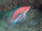 Blue Head Fairy Wrasse - Cirrhilabrus cyanopleura - Purplehead Parrotfish - Yellowflanked Fairy Wrasse
