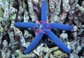 Blue Linckia Sea Star - Linckia laevigata - Blue Linkia