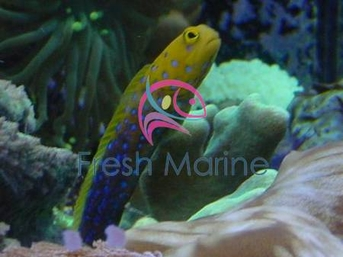 Blue Spot Jawfish Goby - Opistognathus rosenblatti - Bluespotted Jawfish Goby - Blue Dot Jawfish