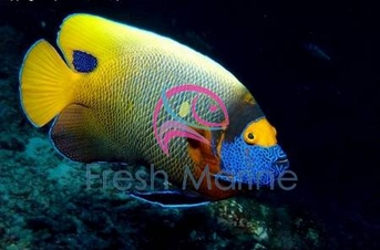 Blueface Angelfish - Pomacanthus xanthometopon - Blueface Angel Fish