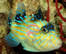 Blueline Trigger Fish - Pseudobalistes fuscus - Bluelined Triggerfish