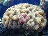 Brain Metallic Coral - Wellsophyllia species - Open Brain Coral