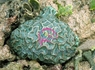 Brain Platygyra Coral - Platygyra species - Green Maze Coral - Brain Worm Platygyra Coral - Bowl Coral - Closed Brain Coral - Pineapple Coral