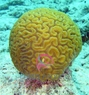 Brain Star Goniastrea Coral - Goniastrea species - Honeycomb Coral - Closed Brain Coral
