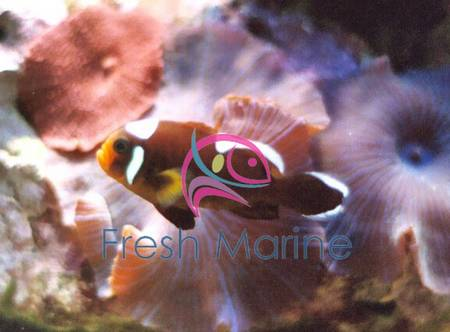 Brown saddle clown amphiprion polymnus for Buy clown fish