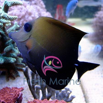 Brown Scopas Tang - Zebrasoma scopas - Brown Tang - Two-Tone Sailfin Tang