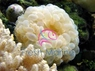 Bubble Pearl Coral - Physogyra species - Pearl Grape Coral - Pearl Octobubble Coral - Pearleye