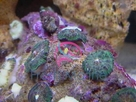 Bullseye Mushrooms - Discosoma species - Disc Anemones - Flower Corals - Mushroom Anemones