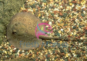 California Spotted Stingray - Urolophus halleri - Round Sting Ray