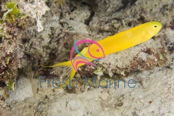 Canary Fang Blenny - Meiacanthus ovalaunensis - Canary Blenny - Green Canary