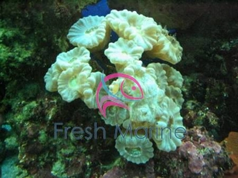 Candy Coral - Caulestrea furcata - Candy Buttons Coral - Big Pipe Coral - Candycane Coral - Trumpet Coral