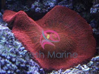 Carpet Anemone - Assorted Color - Stichodactyla haddoni - Giant Anemone - Giant Carpet Anemone