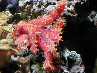 Chili Coral - Alcyonium species - Chili Sponge - Strawberry Coral - Encrusting Leather Coral