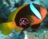 Cinnamon Clown Fish - Amphiprion melanopus - Red and Black Anemonefish - Black Fin Clownfish