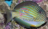 Clown Tang - Acanthurus lineatus - Clown Surgeonfish - Lined Surgeonfish