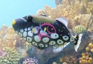 Clown Trigger Fish - Balistoides conspicillum - Clown Triggerfish