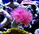 Coco Worm - Sabellastarte magnifica - Pink and White Coco Worm - Hard Tubeworm Pink
