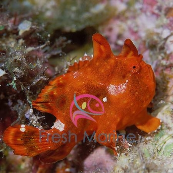Colored Angler - Antennarius species - Frogfish - Colored Frog Fish