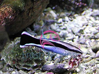 Common Cleaner Wrasse - Labroides dimidiatus - Bluestreak Cleaner - Pacific Cleaner