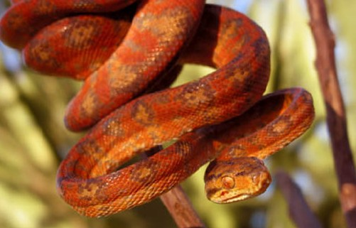 Image result for cooks tree boas