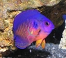 Coral Beauty Angelfish - Centropyge bispinosus - Coral Beauty Angel Fish