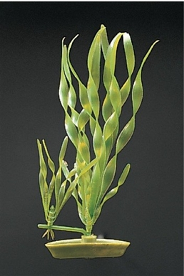 Corkscrew Vallisneria, From Hagen