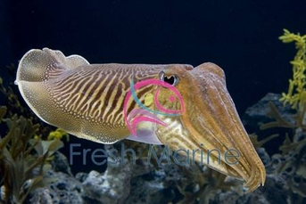 Cuttlefish - Sepia aculeate - Cuttle Fish
