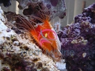Electric Flame Scallop - Lima species - Electric Eye Flashing Scallop