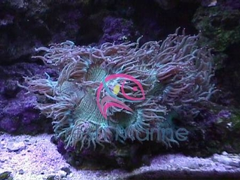 Freshmarinecom Elegance Coral Catalaphyllia Species Buy Cheap