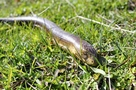 European Giant Legless Lizard - Pseudopus apodus - European Legless Lizard - Glass Lizard