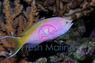 Evansi Anthias - Microlabrichthys evansi - Evan's Anthias - Yellowtail Goldie