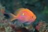 Fathead Anthias - Serranocirrhitus latus - Sunburst Anthias