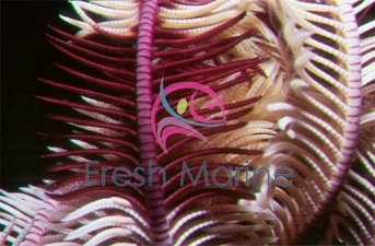 Feather Sea Star - Himerometra species - Crinoid Feather Sea Star