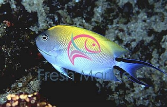 Female SwallowTail Angelfish - Genicanthus melanospilos - Blackspot Angel Fish