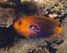 Fisher's Angelfish - Centropyge fisheri - Fisher's Angel Fish