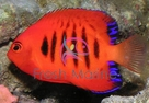 Flame Angelfish - Centropyge loriculus - Flame Angel Fish