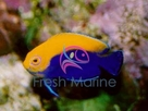 Flameback Angelfish - African - Centropyge acanthops - Flameback Angel Fish