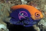 Flameback Angelfish - Brazillian - Centropyge acanthops - Flameback Angel Fish
